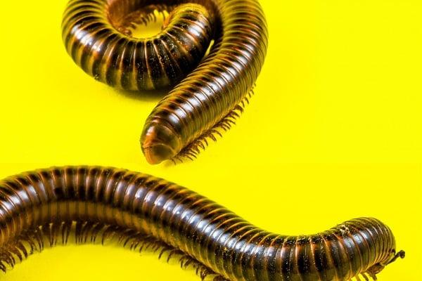 Come Liberarsi dei Centopiedi: 10 Passaggi