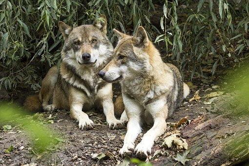 parabola dei due lupi