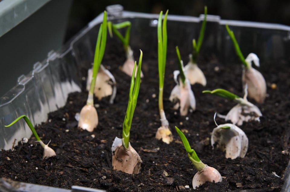 come coltivare aglio in vaso