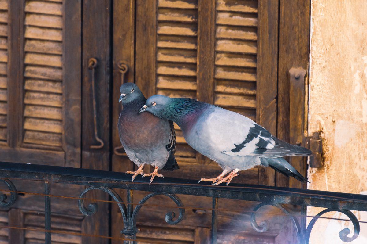 come allontanare i piccioni dal AdobeStock 352912690