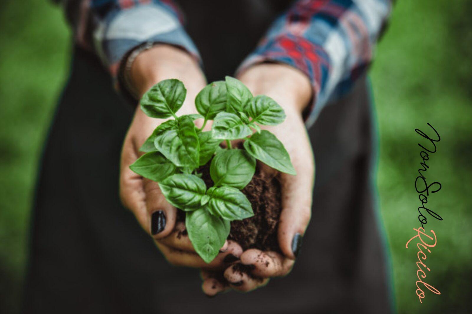 Coltivare il basilico in casa