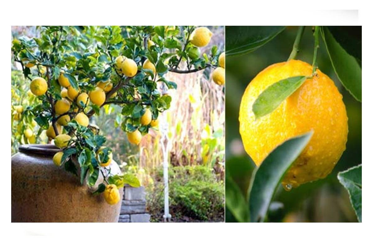 Pianta di limone in inverno: come curarla per una fruttificazione copiosa!