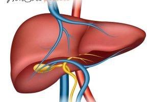 epatite c sintomi cause scatenanti human liver structure organ human medical science health internal 1284 42361