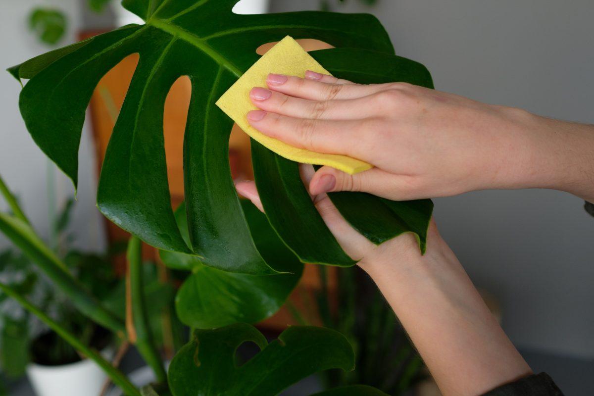 Pulire le foglie delle piante da interno: il metodo per averle sempre belle!