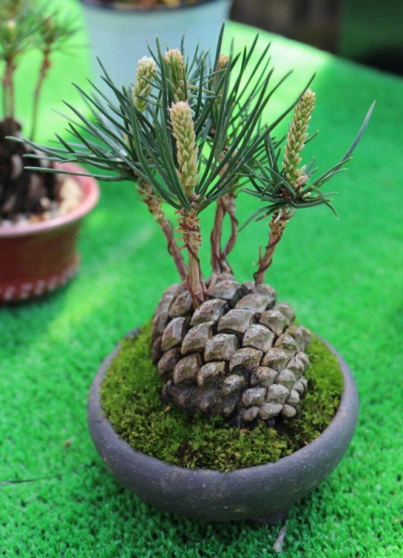 far germogliare un pino in Come far germogliare in casa un pino con una pigna 6 738x1024 1