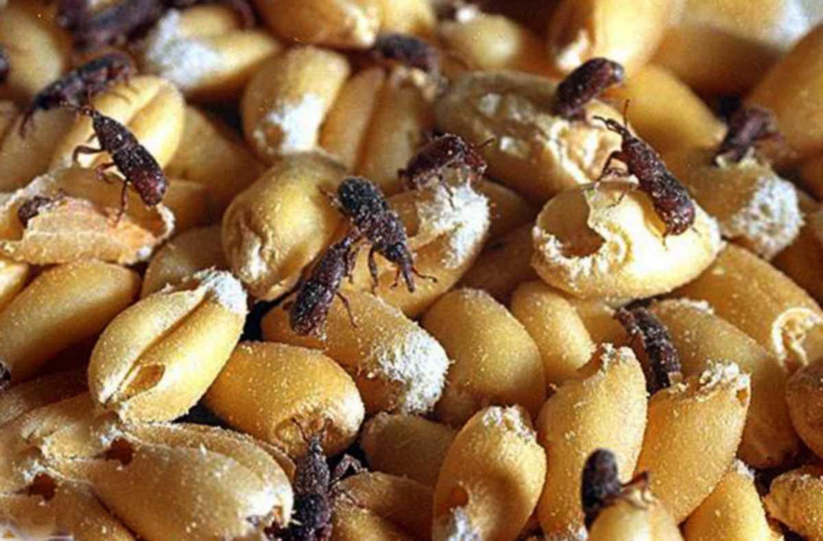 punteruoli del grano come si insetti in magazzino grano