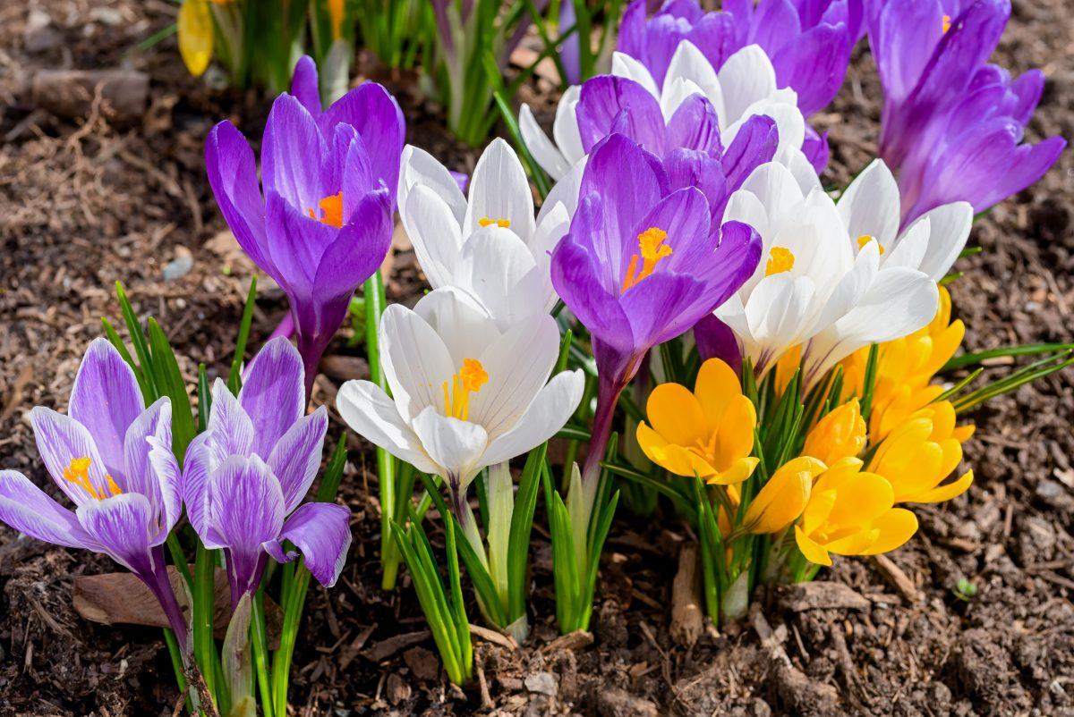 fiori primaverili scopri quali piantare AdobeStock 322583935