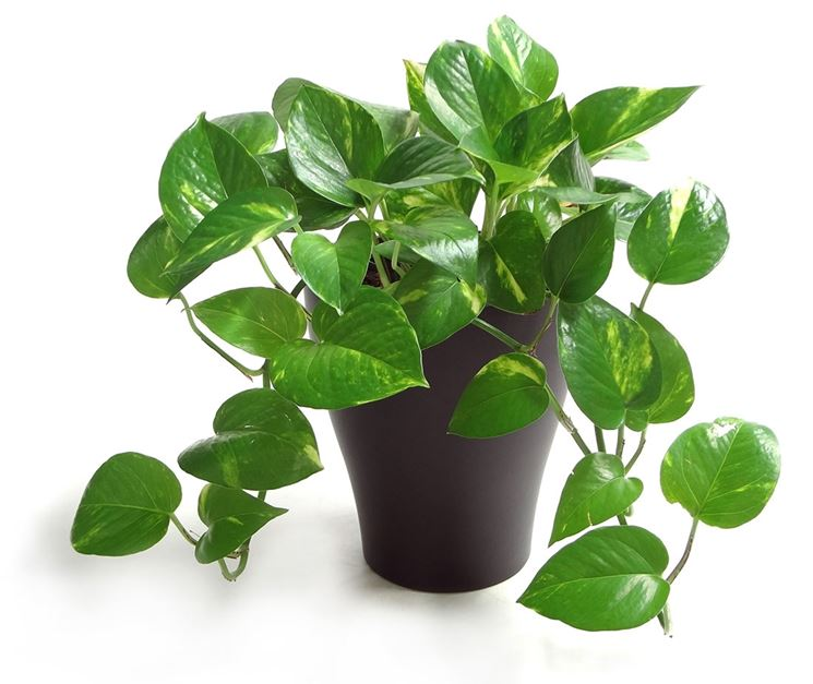 le piante per il bagno potos NG1