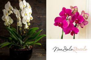 orchidee perfette con questo trucchetto 4