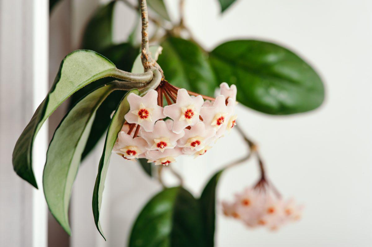 piante rampicanti da avere in AdobeStock 144869629