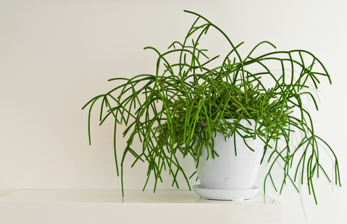 piante rampicanti da avere in AdobeStock 251135373