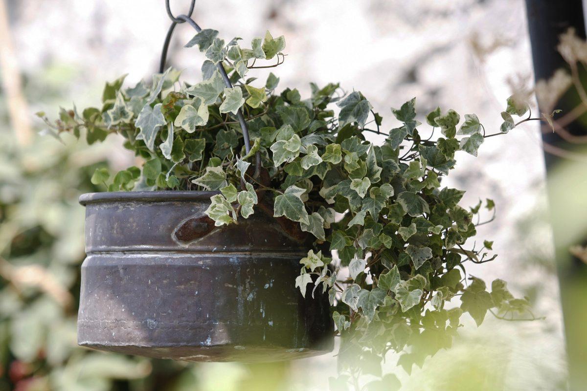 piante rampicanti da avere in AdobeStock 27651240