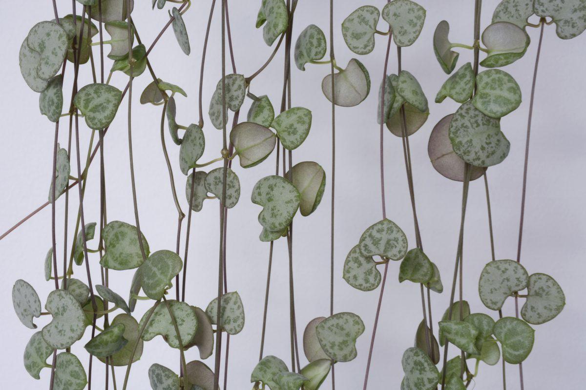 piante rampicanti da avere in AdobeStock 276564744