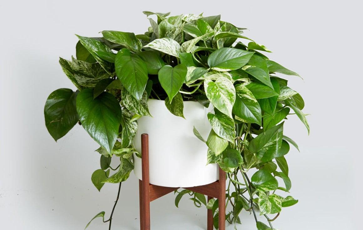 piante rampicanti da avere in Pothos piante