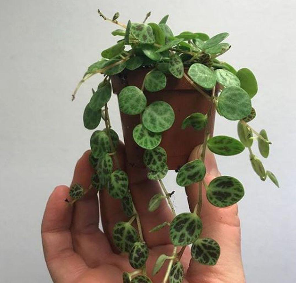 piante rampicanti da avere in peperomia 4