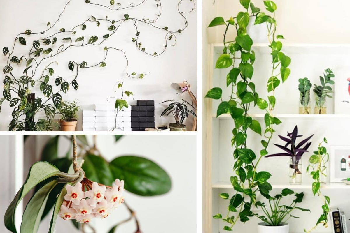 piante rampicanti da avere in piante rampicanti in casa