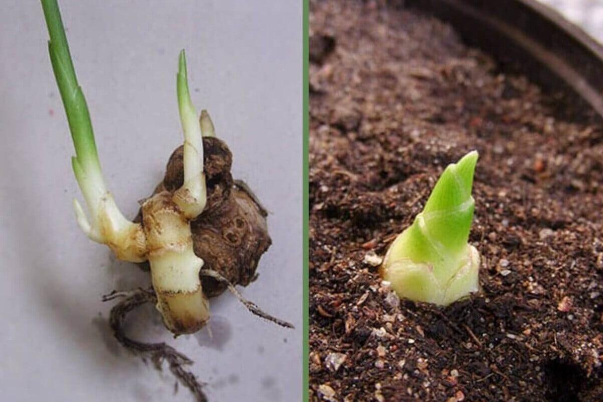 zenzero e semplicissimo coltivarlo in coltivare lo zenzero in casa