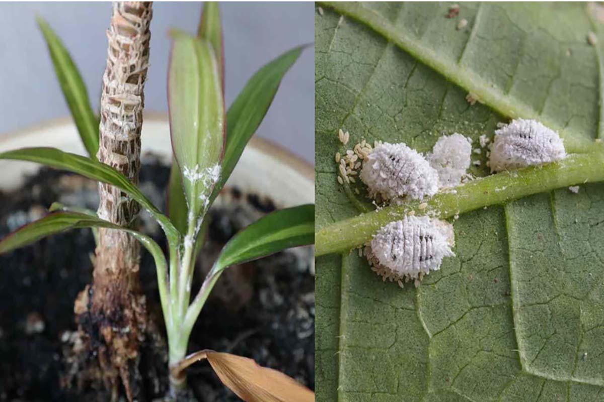 Rimedi naturali per allontanare la cocciniglia dalle nostre piante definitivamente! No sostanze chimiche!