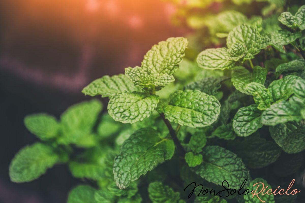 foglie di menta come tagliarle 9