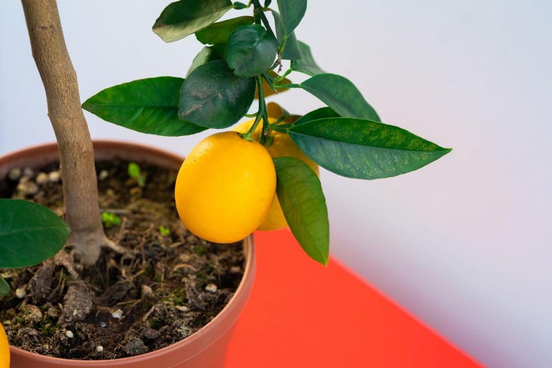 le piante migliori per trasformare arancio dolce