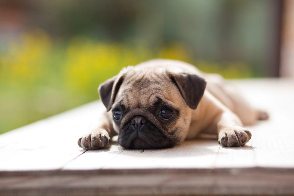 se hai un cane non AdobeStock 20882499