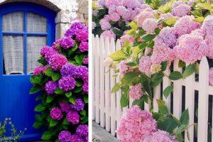 ortensie per decorare il giardino ortensie giardino