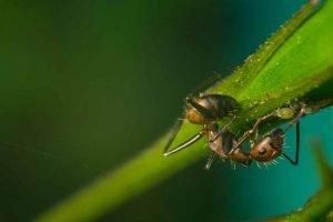 combattere le infestazioni delle piante formiche e afidi