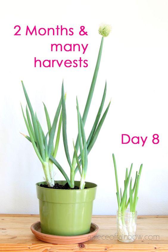 come far ricrescere semi verdura 7