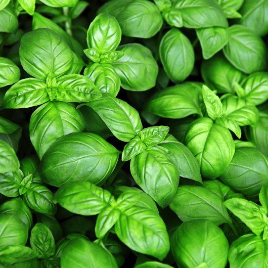 8 piante che allontanano i basilico ligure 530x530 1