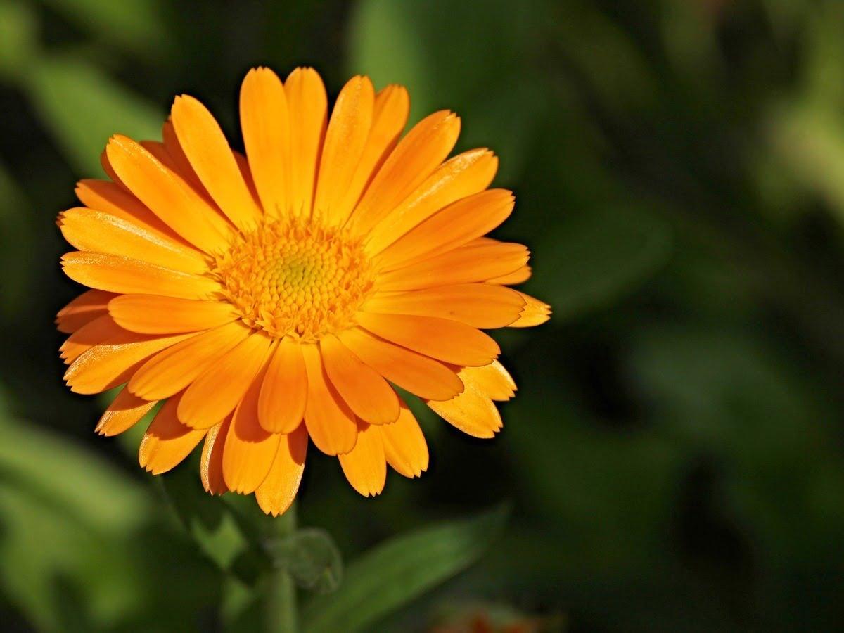 8 piante che allontanano i calendula officinalis