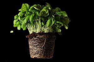 ecco come coltivare il basilico AdobeStock 215807998 1