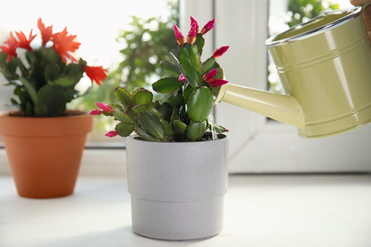 la schlumbergera la pianta che AdobeStock 428963491 1