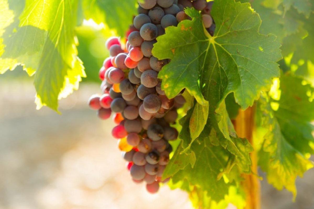 perche non dovresti buttare i grapes vineyards plant sunny day 1398 5016